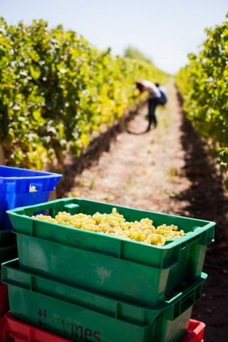Image of hand harvested grapes