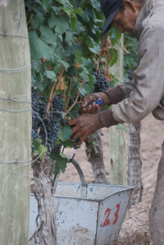 Image of man hand picking grapes.