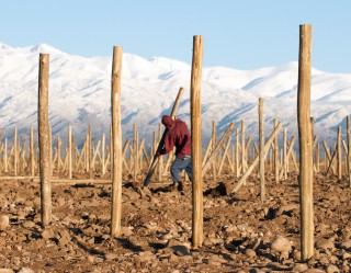 Image of man setting stakes for a new vineyard.