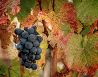 Image of grapes ready for harvest.