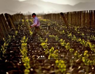 Image of man walking between vines.